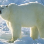 Get a speaking gig - See a Polar Bear